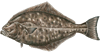 halibut oregon coast