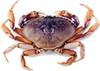 Dungeness Crab Port Orford Seafood