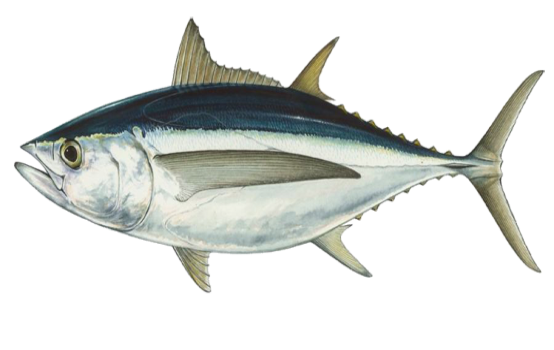 Albacore Port Orford Seafood
