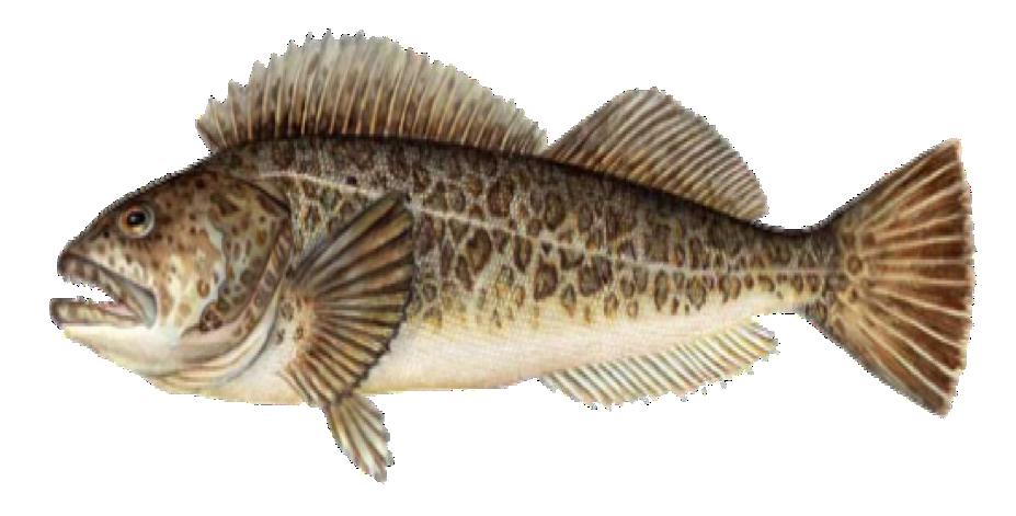 Lingcod Port Orford Seafood