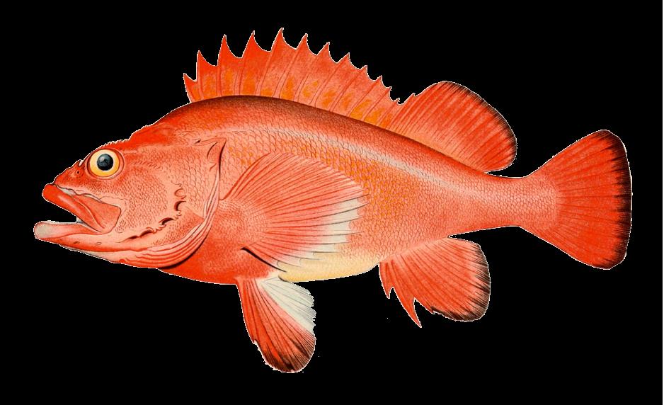 Rockfish Port Orford Seafood