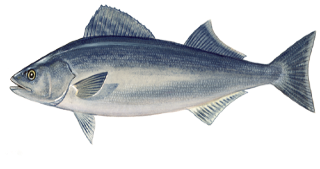 Sablefish from Port Orford Seafood