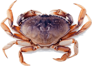Dungeness Crab Sustainable Seafood