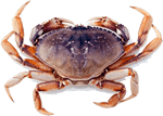Dungeness Crab Port Orford Sustainable Seafood